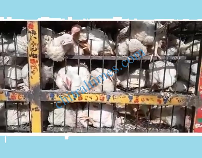 chicken datsan poultry dealer vehicle